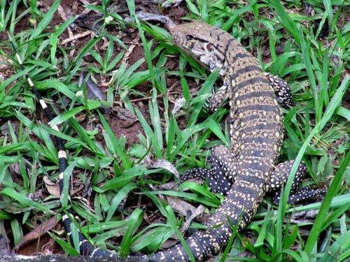 Invasive lizard taking over habitat in Florida