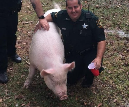 Deputies wrangle abandoned pig in Florida neighborhood