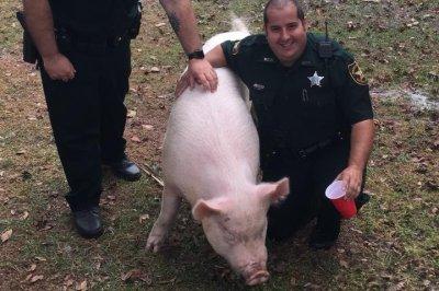 Deputies wrangle abandoned pig in Florida neighborhood