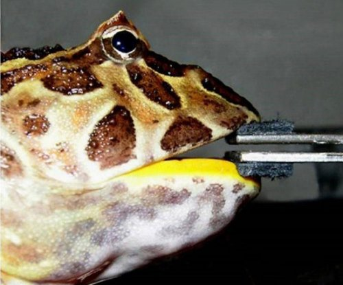 Giant extinct frog ate small dinosaurs, bite force research suggests