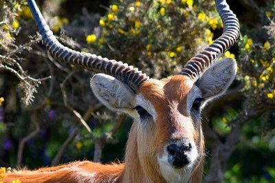 Escaped antelopes returned safely to Welsh zoo