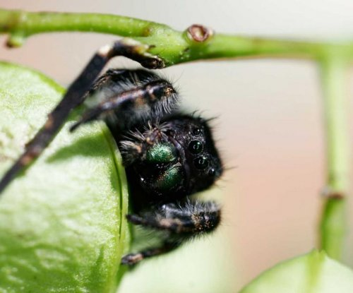 Jumping spiders can hear sounds from 10 feet away