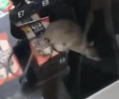 Student films rat inside Florida high school vending machine