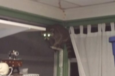 Watch: Police chase confused raccoon through Florida home