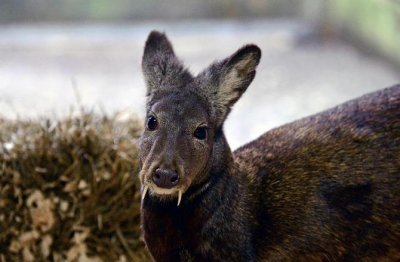 Fanged deer spotted in Afghanistan, first sighting in 60 years
