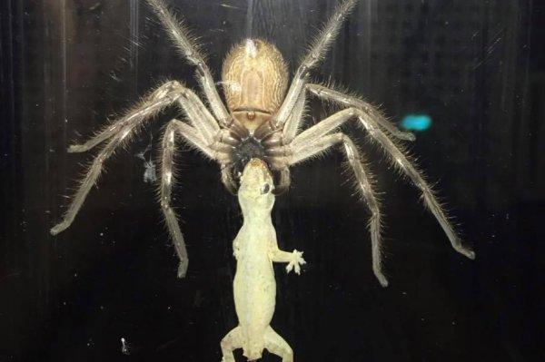 V Mouse Eating Scene Watch: Huntsman spider...