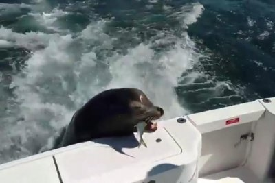 'Celebrity' sea lion jumps on moving boat to beg for fish