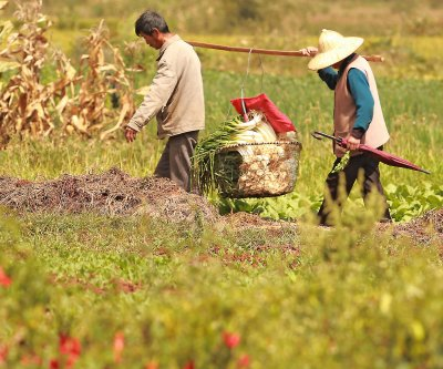 Locusts plunder crops in southwest China