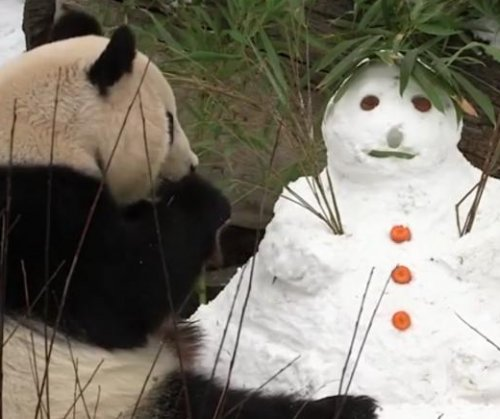 Giant panda mauls delicious snowman at Austrian zoo
