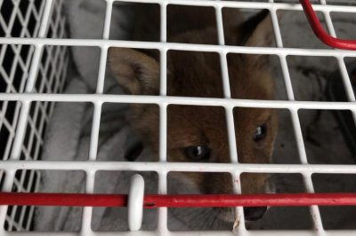Baby fox rescued from gas station in Wales