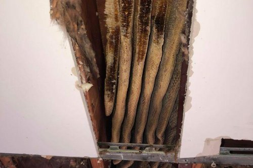 8-foot beehive removed from Virginia apartment ceiling