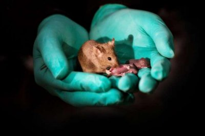 Scientists in China engineer baby mice from same-sex parents