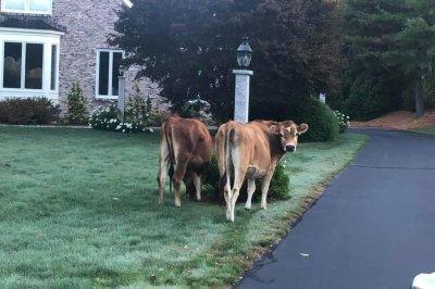 Police conduct 'mini cattle drive' for escaped cows