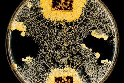 Slime mold memorizes foreign substances by absorbing them