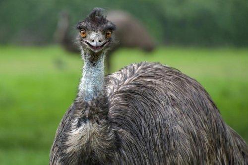 Loose emu eludes capture in Pennsylvania