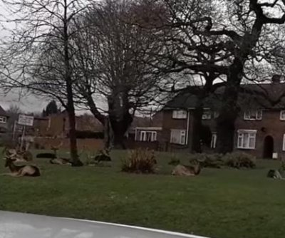 Deer invade London neighborhood during COVID-19 lockdown