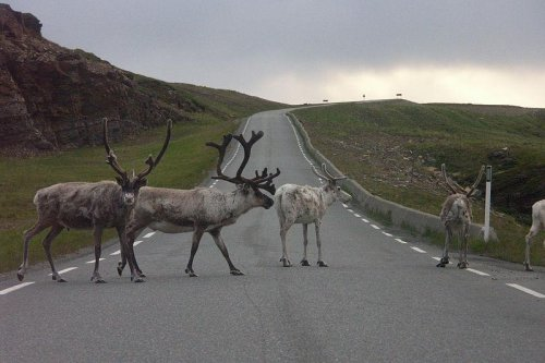 Radioactive reindeer surprise Norwegian scientists