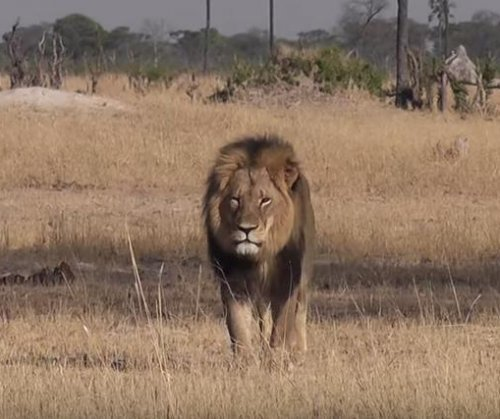 Minnesota dentist accused of illegally killing Cecil the lion