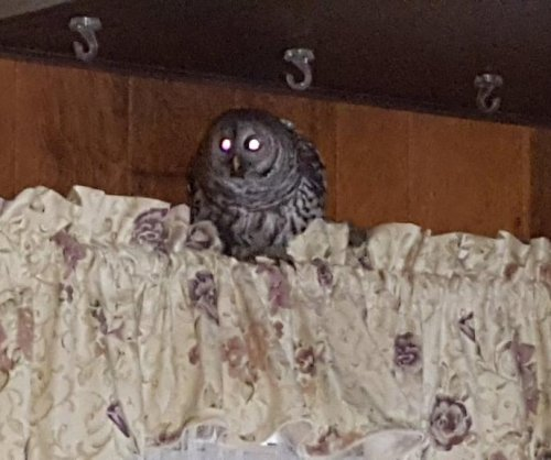 Owl wanders into Massachusetts home through chimney