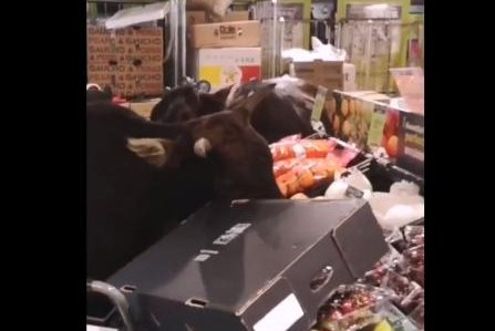 Loose cows wander into store, feast on produce