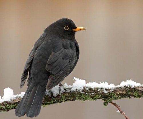 Blackbirds in the city aren't as healthy as their relatives in the country