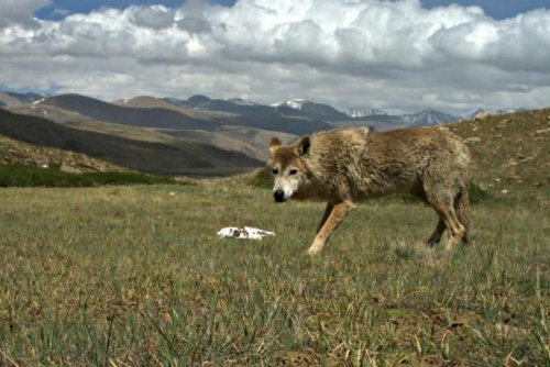 Himalayan wolf uniquely adapted to life at high altitudes