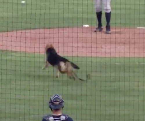 German Shepherd ditches dog night to take part in Minor League warmup