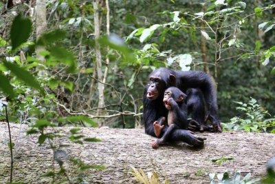 Orphaned chimps develop less muscle mass than their peers with living moms