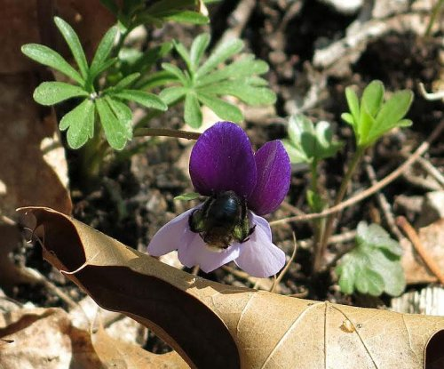In cool forests, foraging bees prefer the warmth of darker flower petals
