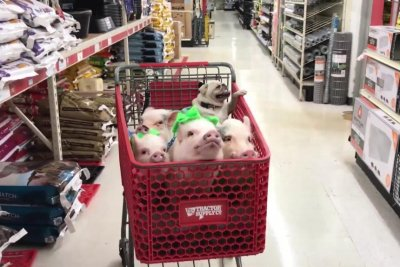 Four pigs, pug accompany adopted mom on shopping trip