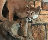 Deputies searching home seize stuffed mountain lion carcass