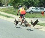 Turkeys chase cyclist down South Carolina road