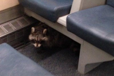 Raccoon hitches ride on Toronto train