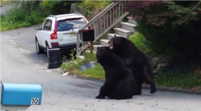 Black bears fight on suburban New Jersey street