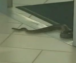 Slithering snake causes a stir with visit to Texas mall