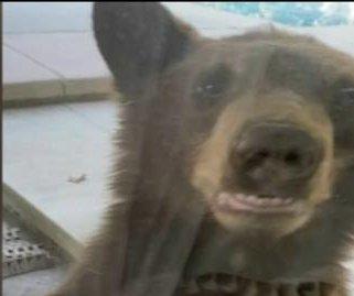 Bear cubs peek into California home through back door