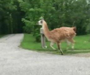 Llama on the lam runs loose through Ontario communities