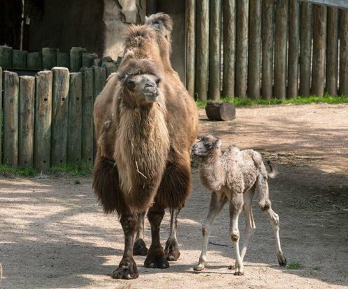 Chicago zoo introduces newborn camel named 'Alexander Camelton'