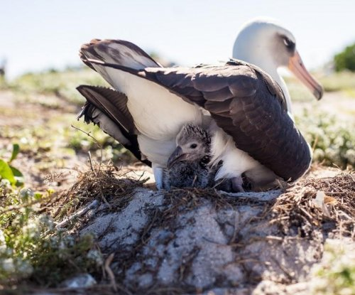 65-year-old Laysan albatross hatches 40th chick
