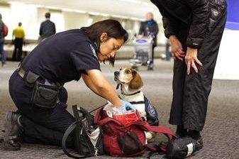 U.S. uses beagles to detect smuggled pork