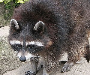 New laws address NYC raccoon problem