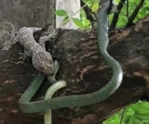 Snake throws up live gecko when lizards attack