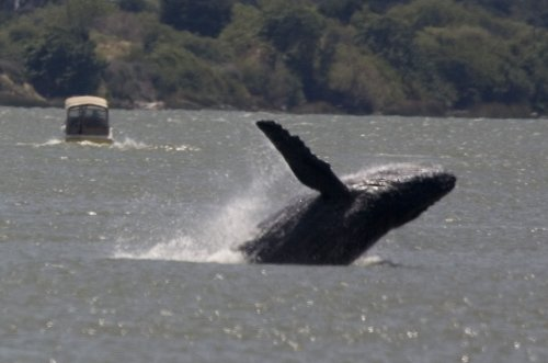 Whale swallows lobster diver, rejects him as meal