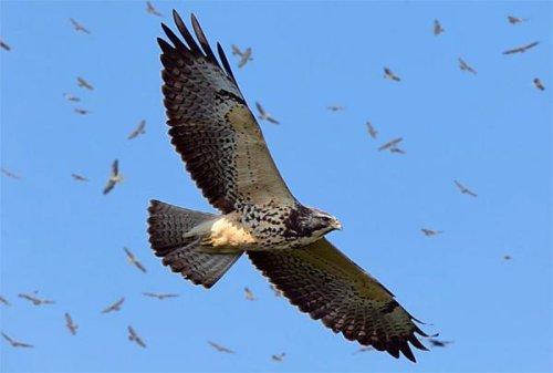 Panama sets new raptor migration record