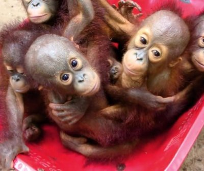 Orphaned orangutan babies learn survival skills at 'Forest School'