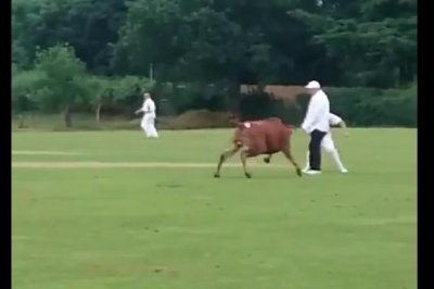 British cricket match interrupted by rampaging bull