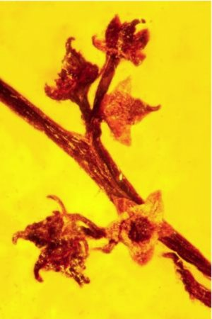 Fossil in amber shows ancient reproduction process of flowering plants