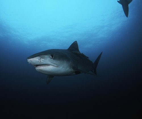 Feeding patterns among coastal, deep ocean sharks differ, study shows