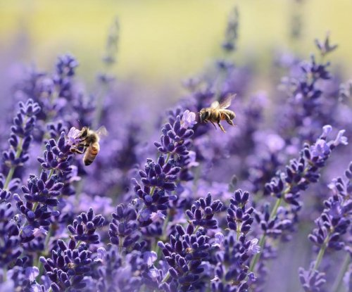 Study: Lavender's smell, not absorption in lungs, relaxes mice