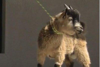 Alabama police round up pygmy goat running in traffic